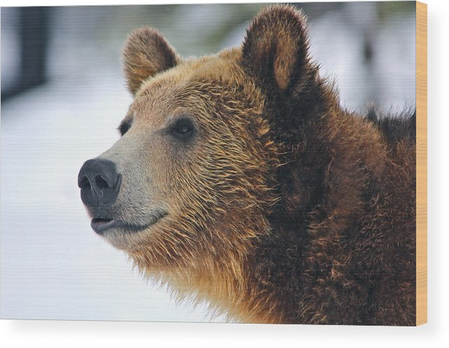 Wildlife Wood Print featuring the photograph Thinking Bear by Brenda Boyer