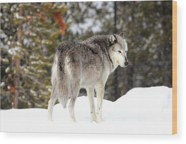 Wildlife Wood Print featuring the photograph This Is My Territory by Brenda Boyer