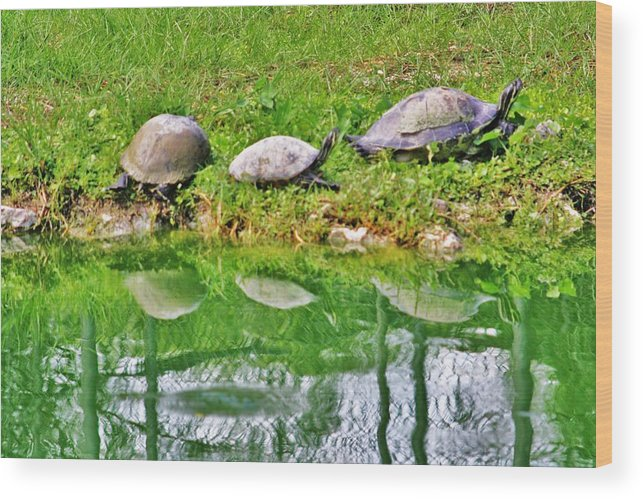 Everglades Wood Print featuring the photograph Three In A Row by Chuck Hicks