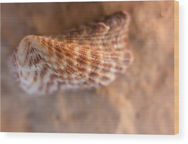 Seashell Wood Print featuring the photograph Tiger Shell by Christian Schroeder