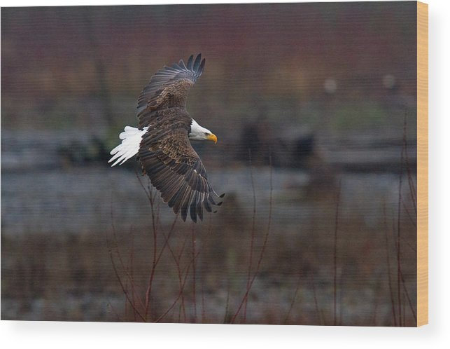 Bald Eagle Wood Print featuring the photograph Time To Soar by Shari Sommerfeld