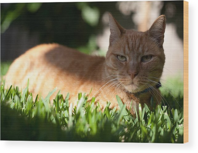 Cat Wood Print featuring the photograph Tom by Carole Hinding
