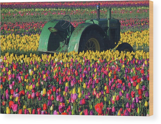Acer Palmatum Wood Print featuring the photograph Tractor In The Tulip Field, Tulip by Michel Hersen