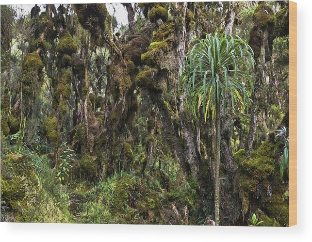 Africa Wood Print featuring the photograph Tropical Mountain Forest, Rwenzori by Martin Zwick