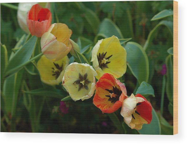 Floral Wood Print featuring the photograph Tulip Parade by Les Scarborough