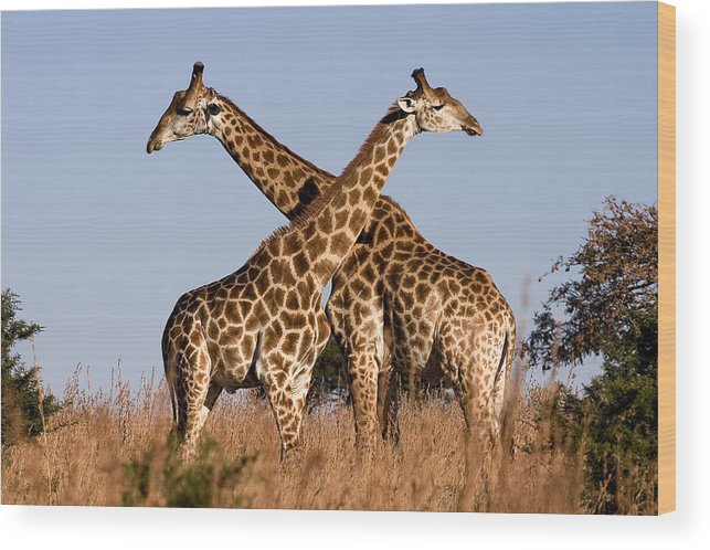 Giraffe Giraffes Pair Twins Two Kenya Africa Wood Print featuring the photograph Twin Giraffes by Wendy White