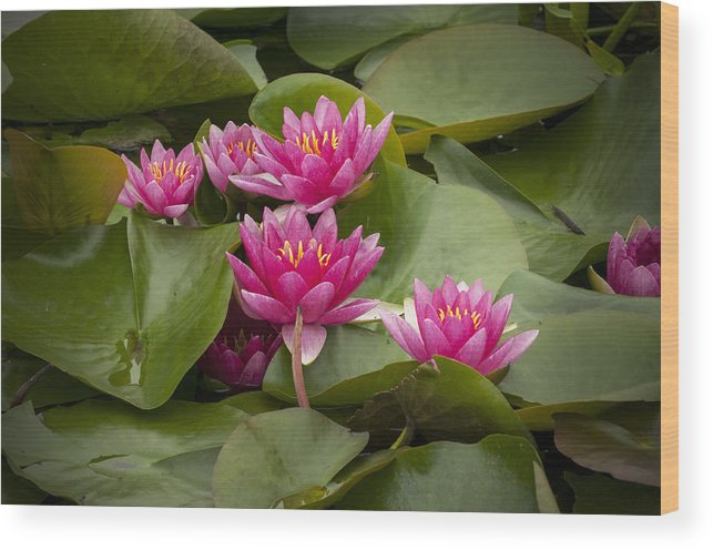 Lilly Wood Print featuring the photograph Violet Lillies by Chad Davis