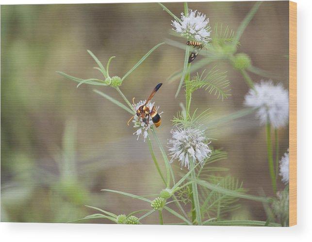 Wasp Wood Print featuring the photograph Wasp Variety by Douglas Barnard
