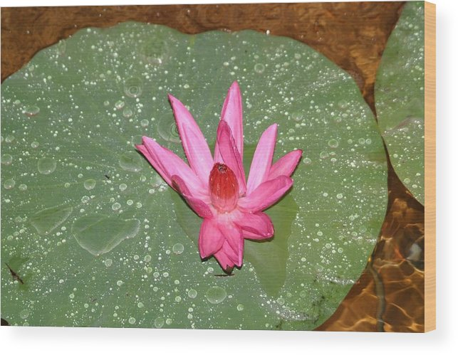 Water Lilly Wood Print featuring the photograph Water Lilly by Dervent Wiltshire