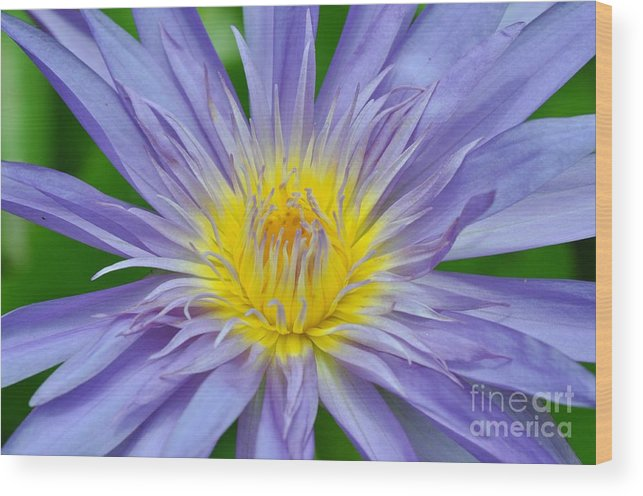 Water Lillies Wood Print featuring the photograph Water Lily 16 by Allen Beatty