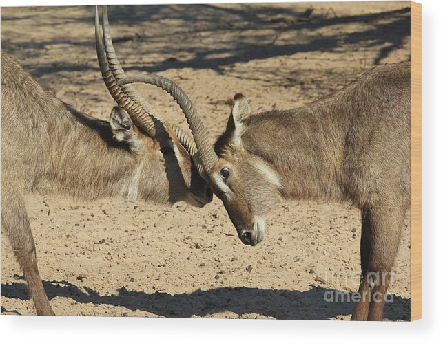 Waterbuck Wood Print featuring the photograph Waterbuck Fight by Hermanus A Alberts