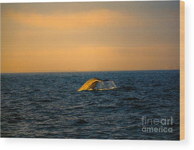 Sunset Wood Print featuring the photograph Whale Tail In The Sun by Loretta Jean Photography