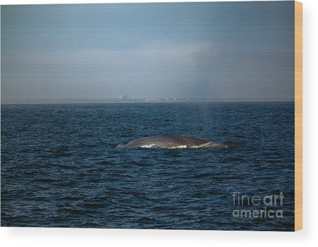 Whale Wood Print featuring the photograph Whale Watching by Loretta Jean Photography