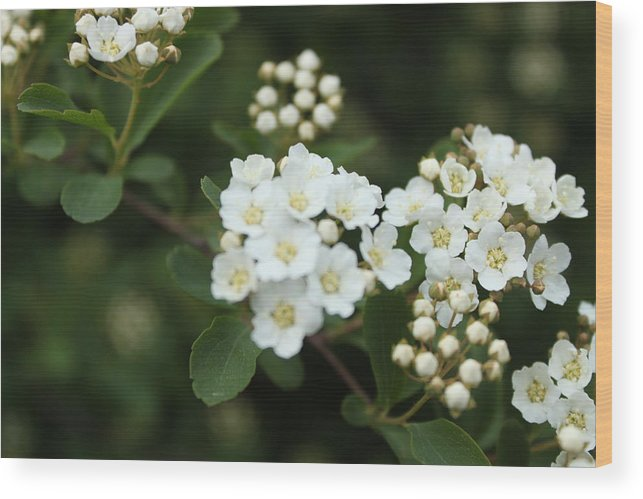 White Wood Print featuring the photograph White Flowers by Louis Olswang