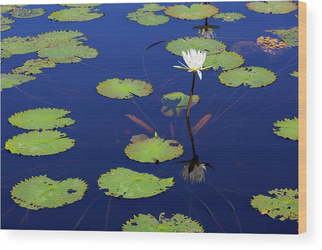 White Lotus Flowers And Green Lily Pads Wood Print By Dennis Walton