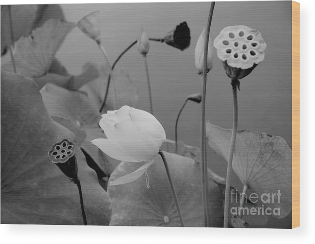 Nature Wood Print featuring the photograph White Lotus Flowers In Balboa Park San Diego by Julia Hiebaum