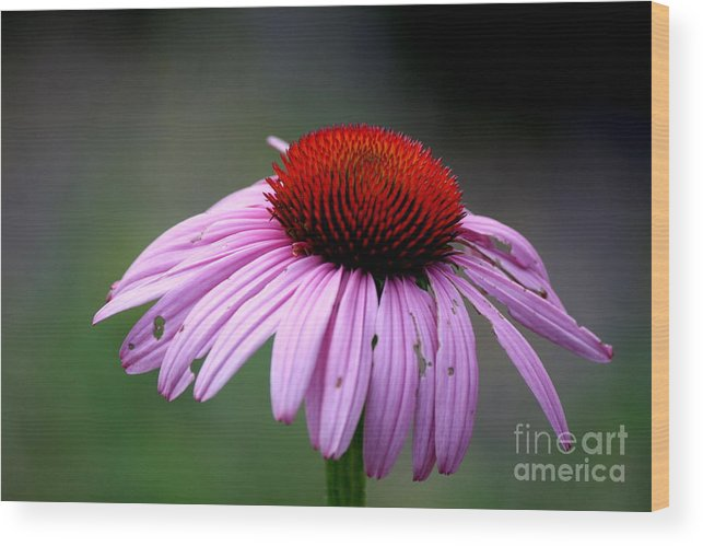 Flower Wood Print featuring the photograph Wickham Park Coneflower by Neal Eslinger