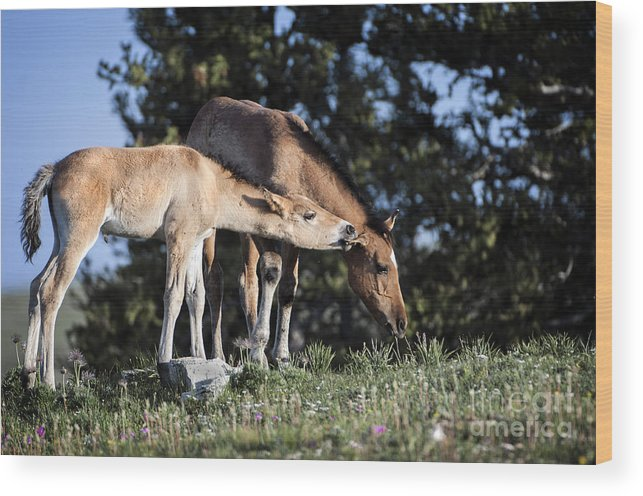 Pryor Mountains Wood Print featuring the photograph Wild Colt-animals-image-2 by Wildlife Fine Art