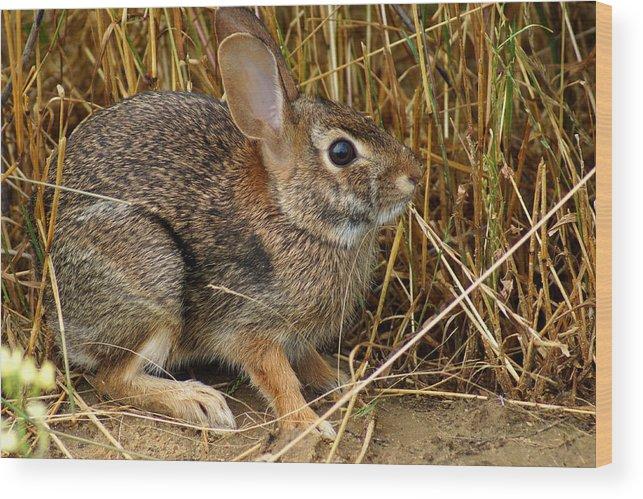 Wild Rabbit Wood Print featuring the photograph Wild Rabbit by Kim Pate
