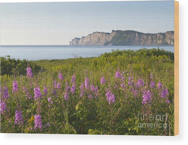 Beauty In Nature Wood Print featuring the photograph Wildflowers In Gaspe by Gord Horne