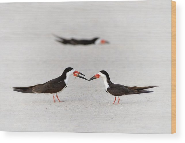 Black Skimmer Wood Print featuring the photograph Will You Be Mine? by Don Schroder