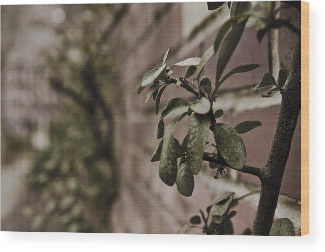 Evergreen Wood Print featuring the photograph Winter Green by Jacin Buchanan