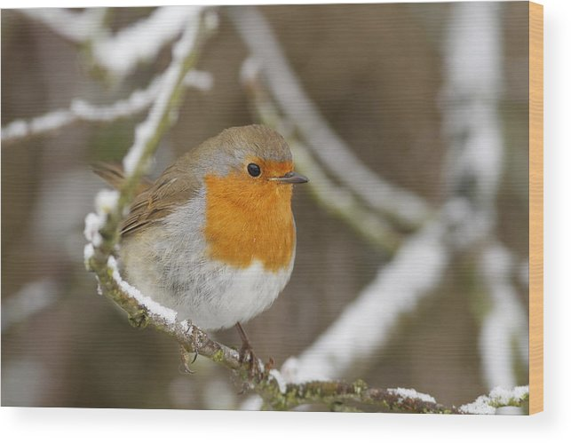 Robin Wood Print featuring the photograph Winter Robin by Simon Gregory