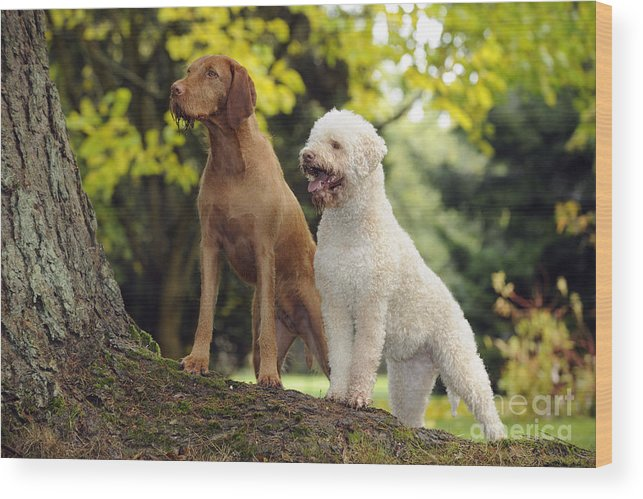 wire haired vizsla and lagotto romagnolo wood print by john daniels