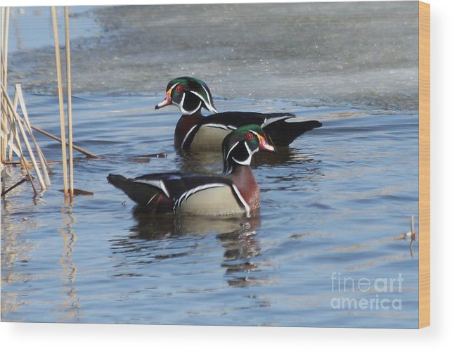 Wood Duck Wood Print featuring the photograph Wood Duck Drake Pair by Lori Tordsen