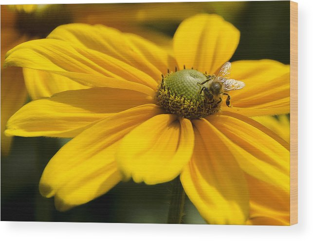 Daisy Wood Print featuring the photograph Yellow Daisy by Irene Theriau