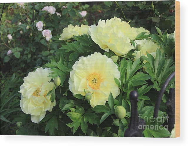 Yellow Wood Print featuring the photograph Yellow Peonies by Rod Ismay