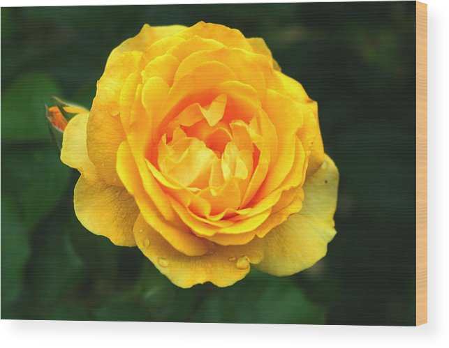Rose Wood Print featuring the photograph Yellow Rose by Stephen Melcher