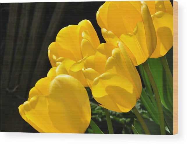 Yellow Wood Print featuring the photograph Yellow Tulips by Diane Lent