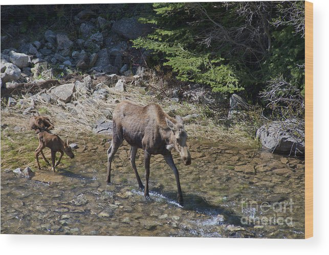 Moose Wood Print featuring the photograph You Walk I Am Resting by David Arment