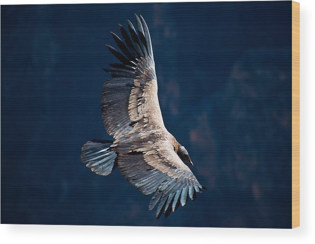 Peru Wood Print featuring the photograph Young Andean Condor by Kent Nancollas