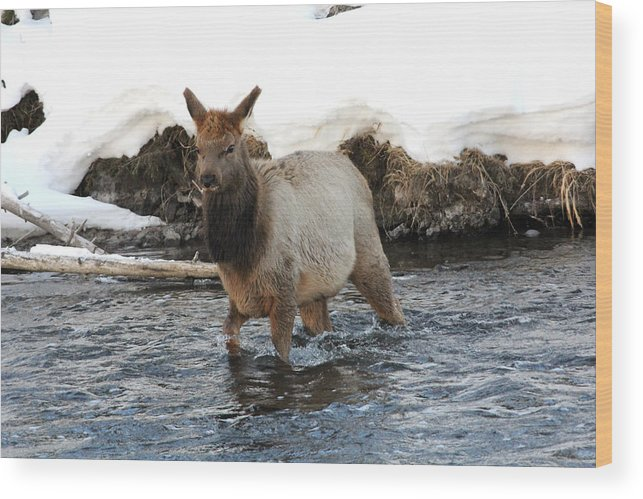 Wildlife Wood Print featuring the photograph Young Elk by Brenda Boyer
