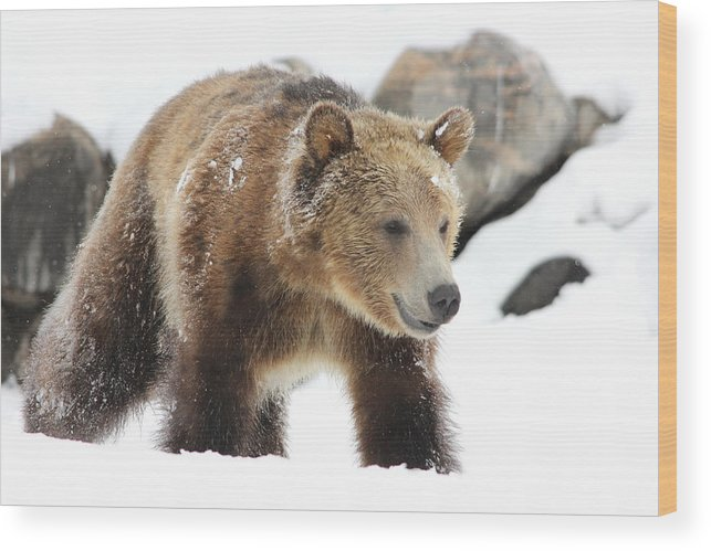 Wildlife Wood Print featuring the photograph Young Grizzly Bear by Brenda Boyer