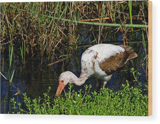 Albus Wood Print featuring the photograph Young White Ibis by Ira Runyan