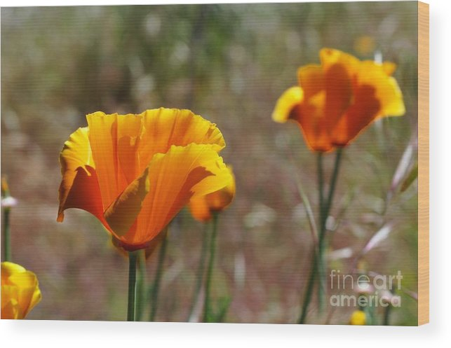 California Poppy Wood Print featuring the photograph Dreams by Rose Jones