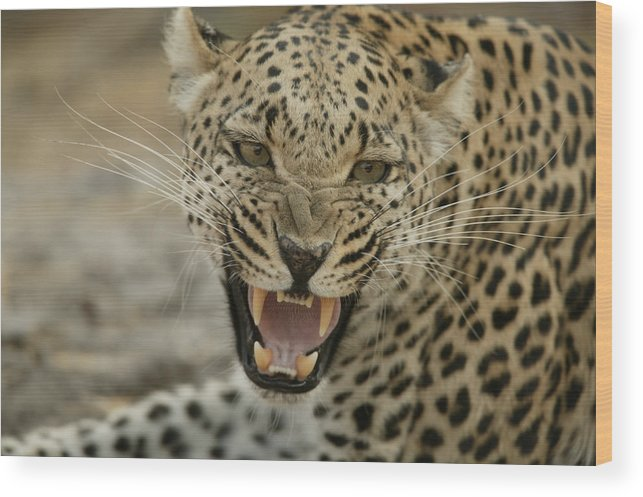 Mombo Wood Print featuring the photograph A Female Leopard, Panthera Pardus by Beverly Joubert