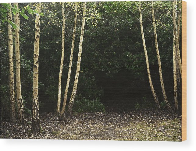 Nature Wood Print featuring the photograph Birches by David Resnikoff