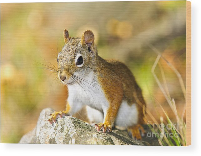 Red Squirrel Wood Print featuring the photograph Cute Red Squirrel Closeup by Elena Elisseeva