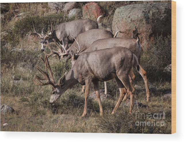2012 Wood Print featuring the photograph Mule Deer Bucks by Ronald Lutz