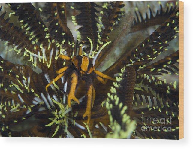 Allogalathea Elegans Wood Print featuring the photograph Orange And Brown Elegant Squat Lobster by Steve Jones