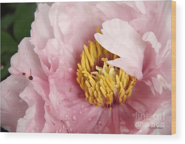 Tree Peony Wood Print featuring the photograph Pink Tree Peony by Yumi Johnson