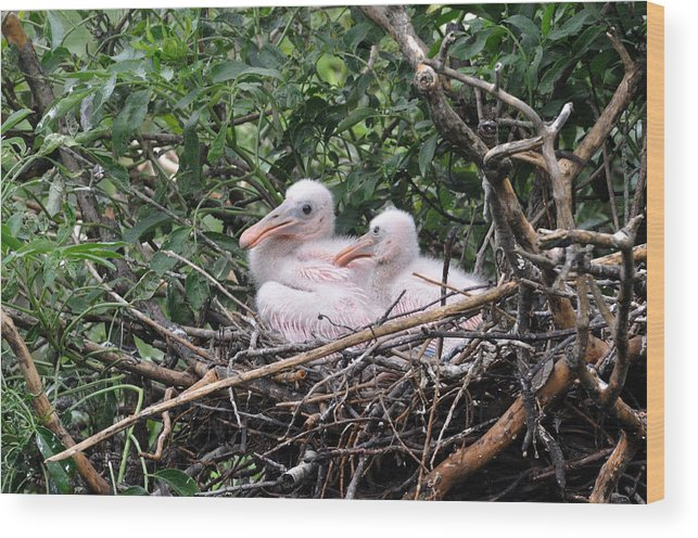 Wading Birds Wood Print featuring the photograph Roseate Spoonbill Chicks by Ernst Schwarz