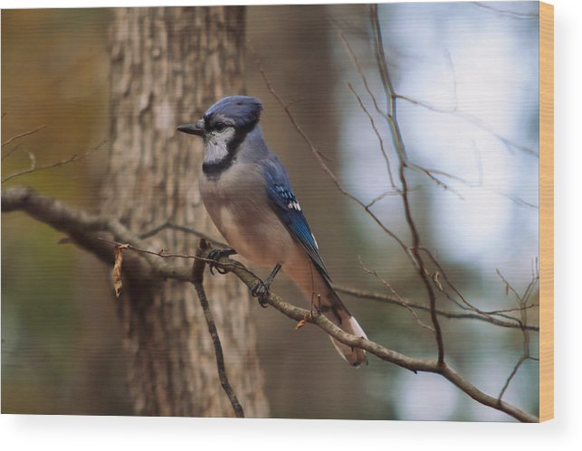 Blue Jay Wood Print featuring the photograph Blue Jay by Josef Pittner