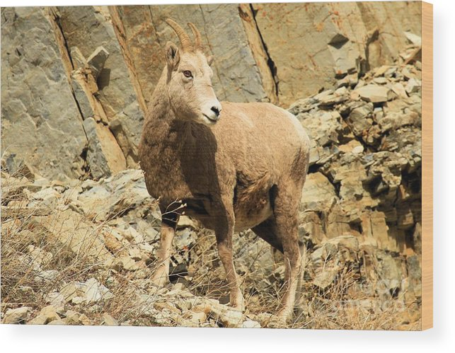 Big Horn Sheep Wood Print featuring the photograph Strike A Pose by Adam Jewell
