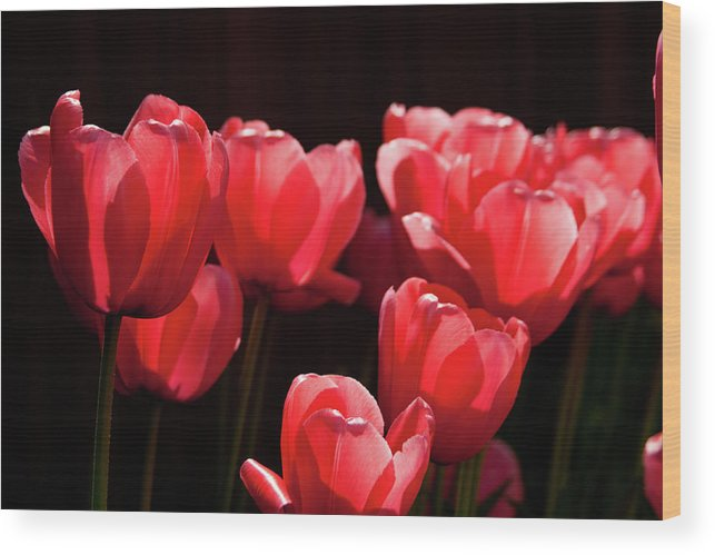 2012 Wood Print featuring the photograph 2012 Tulips 02 by Robert Torkomian