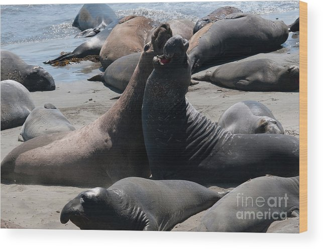 Animals Wood Print featuring the digital art Elephant Seal Colony On Big Sur by Carol Ailles